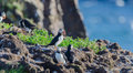 Atlantic puffins Fratercula arctica on bird island in Elliston, Newfoundland. Royalty Free Stock Photo