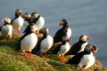 Atlantic puffins fratercula arctica in raudinupur iceland area northeast of Royalty Free Stock Photos