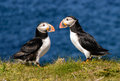 Atlantic puffins Royalty Free Stock Photo