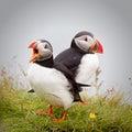 Atlantic puffins Royalty Free Stock Photo