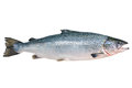 Atlantic salmon salmo salar on the white background Royalty Free Stock Image