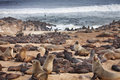 Atlantic seals colony of coast of namibia Stock Photos