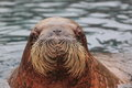 Atlantic walrus the detail of adult Stock Image