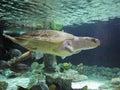 Atlantischer ridley sea turtle Lizenzfreies Stockbild