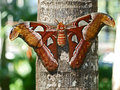 Atlas Moth Stock Images