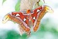 Atlas moth Attacus atlas Royalty Free Stock Photo