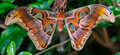 Atlas Moth Royalty Free Stock Photo