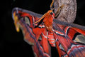 Atlas moth and cocoon Stock Photos
