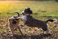 Attack an adult mongrel dog playing with a german shepherd puppy on a meadow in the sunshine Royalty Free Stock Photo