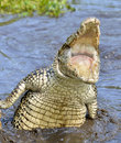 Attack crocodile. Cuban Crocodile (crocodylus rhombifer). Royalty Free Stock Photo
