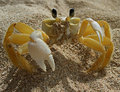 The attacking crab Stock Photos