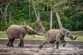 The attacking elephant forest elephant loxodonta africana cyclotis forest dwelling elephant of congo basin dzanga saline a Stock Photos