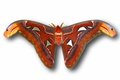 Attacus atlas Royalty Free Stock Images
