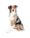 Attentive beautiful australian shepherd dog sitting an and looking into the camera Stock Photography