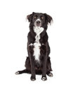 Attentive border collie mix breed dog sitting an while looking forward Stock Photography
