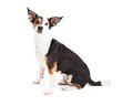 Attentive chihuahua and terrier mixed breed dog sitting an while looking forward Royalty Free Stock Photos