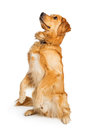 Attentive Golden Retriever Dog Sitting Up Royalty Free Stock Photo