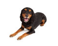 Attentive gordon setter mix breed dog laying at an angle while looking directly at the camera Royalty Free Stock Photo