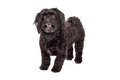 Attentive havanese dog standing with mouth open a very at an angle facing forward Stock Images