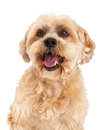 Attentive maltese and poodle mix dog closeup a headshot of a very Royalty Free Stock Image