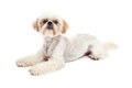 Attentive maltese and poodle mix dog laying an alert while looking into the camera Stock Photo