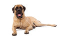 Attentive mastiff dog laying a large against a white backdrop with an alert and expression Royalty Free Stock Photos
