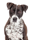 Attentive MIxed Breed Spotted Dog Royalty Free Stock Photo