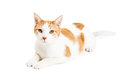 Attentive orange tabby cat laying an taby at an angle and looking directly into the camera Stock Photography