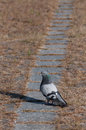 Attentive pigeon looking to the left Royalty Free Stock Photo