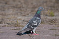 Attentive pigeon looking to the right Royalty Free Stock Photo