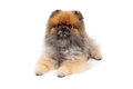 Attentive pomeranian dog laying an while looking forward Royalty Free Stock Image