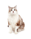Attentive ragdoll cat sitting while looking forward a very directly into the camera Royalty Free Stock Image