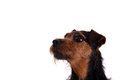 Attentive terrier headshot on a white background of an dog breed is a lakeland patterdale cross Royalty Free Stock Image