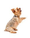 Attentive yorkshire terrier puppy extending paw an its while looking upwards Stock Photos