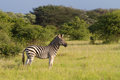 Attentive zebra a very alert burchell s standing in lush african surroundings Royalty Free Stock Image