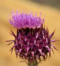 Attractive wild thistle onopordum carduelium in full bloom Royalty Free Stock Photo