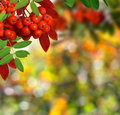 Atumn Background With Rowanberry