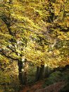 Atwo large beech trees in woodland near a path in fall colours Royalty Free Stock Photo