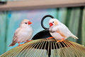 Auatraluan zebra finches a couple of finch lovers Royalty Free Stock Photography