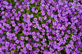Aubretia: purple background. Stock Photography
