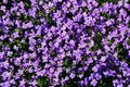Aubrieta cultorum Royalty Free Stock Photos