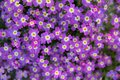 Aubrieta deltoidea or Aubretia plant flowering in spring, Kiparissi Lakonias, Peloponnese, Greece Royalty Free Stock Photo