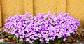 Aubrieta flowers close up of in a garden spring saarland germany Royalty Free Stock Photo