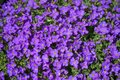 "Aubrieta x cultorum ""Kitte"" in the garden in April. Berlin, Germany Royalty Free Stock Photo"