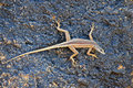 Augrabies flat lizard female seen on rock nearby waterfall catching flies Stock Images