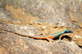 Augrabies flat lizard male seen on rock nearby waterfall catching flies Royalty Free Stock Photo