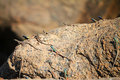 Augrabies flat lizards lizard seen on rock nearby waterfall catching flies Stock Photography