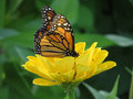 August Monarch Butterfly Royalty Free Stock Photo