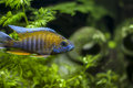 Aulonocara jacobfreibergi red jacob peacock african cichlid aquarium fish originates lake malawi Stock Images