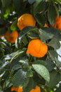 Aurantium citrus fruits hanging on a tree Royalty Free Stock Photos